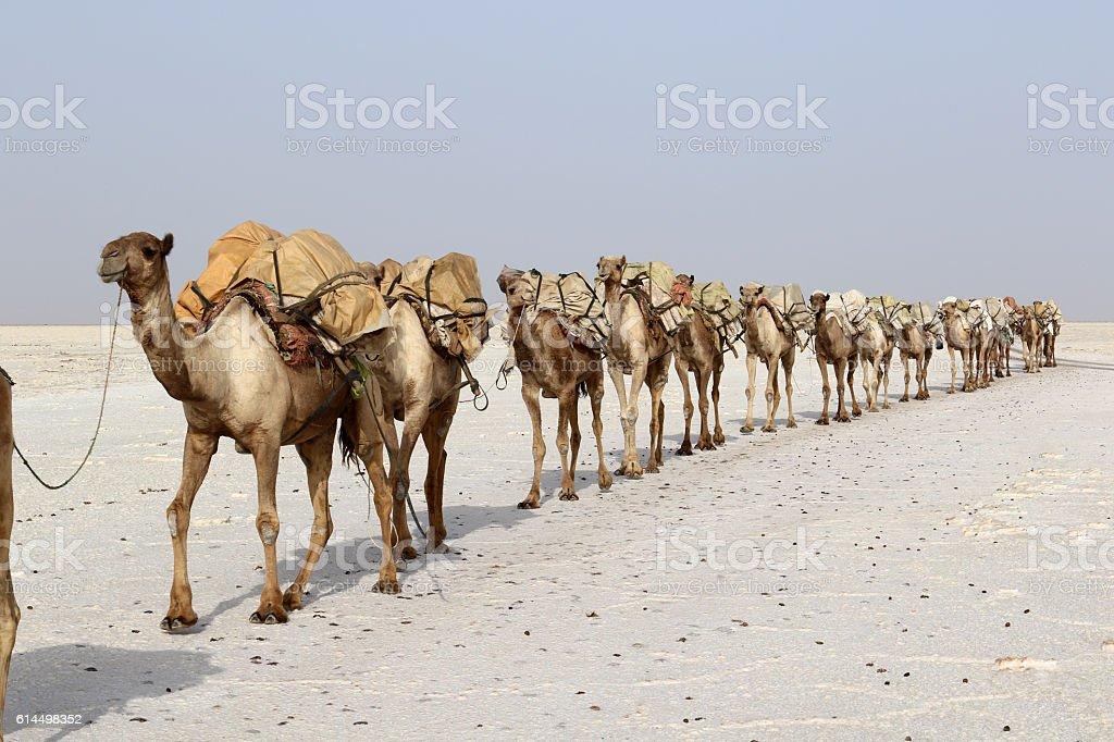 Camels caravan carrying salt in Africa's Danakil Desert, Ethiopia stock photo