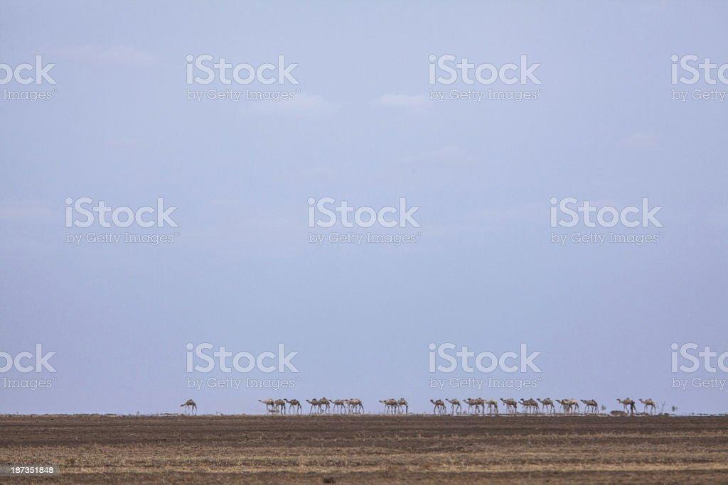 Camels cross a desert in heat haze stock photo