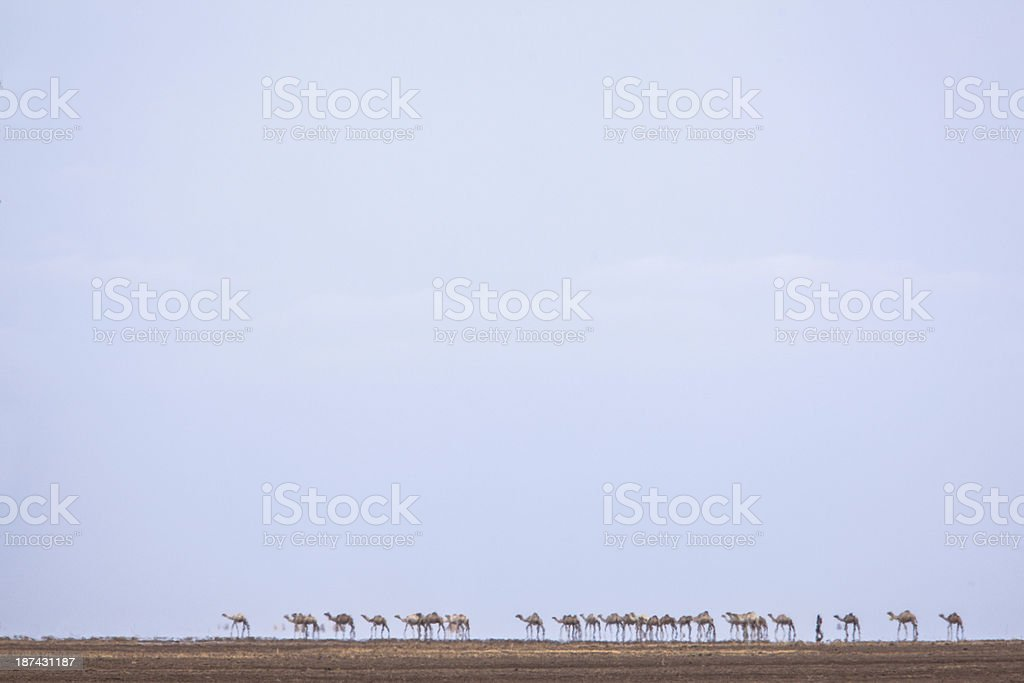camels crossing a desert in heat haze stock photo