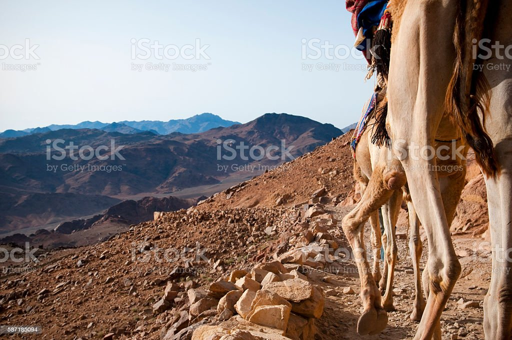 Camels descending Mount Sinai in Egypt stock photo