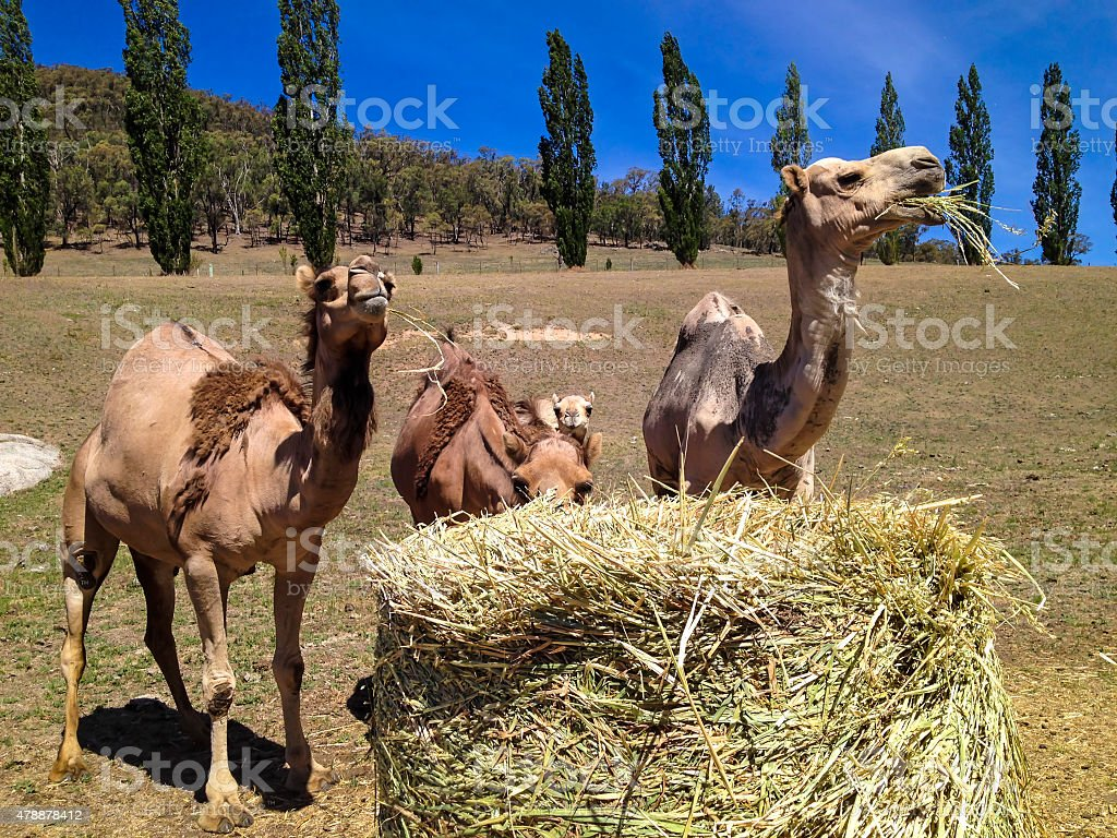 Camels eating hay stock photo