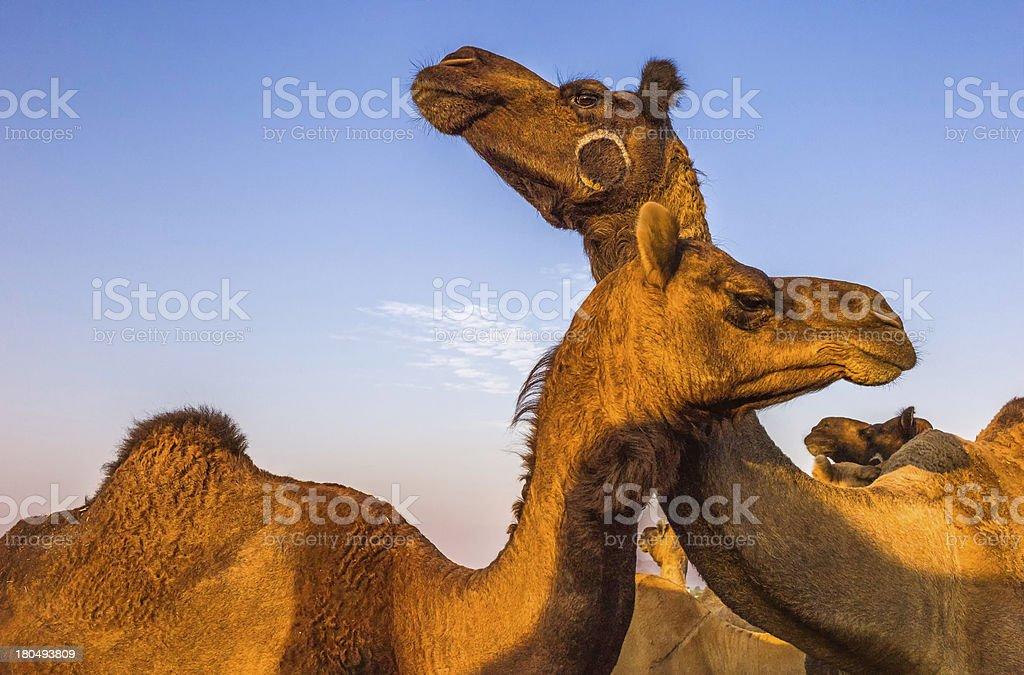 Camels for sale, Pushkar camel fair, Rajasthan, India. royalty-free stock photo