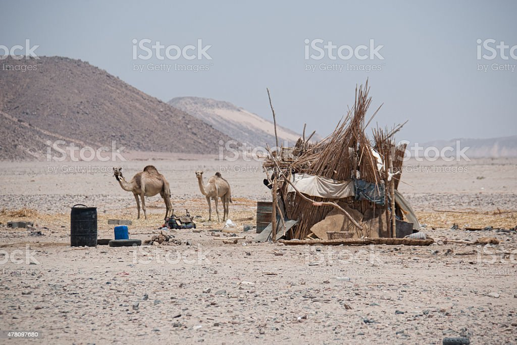 Camels foraging in Bedouin Village, Egypt stock photo