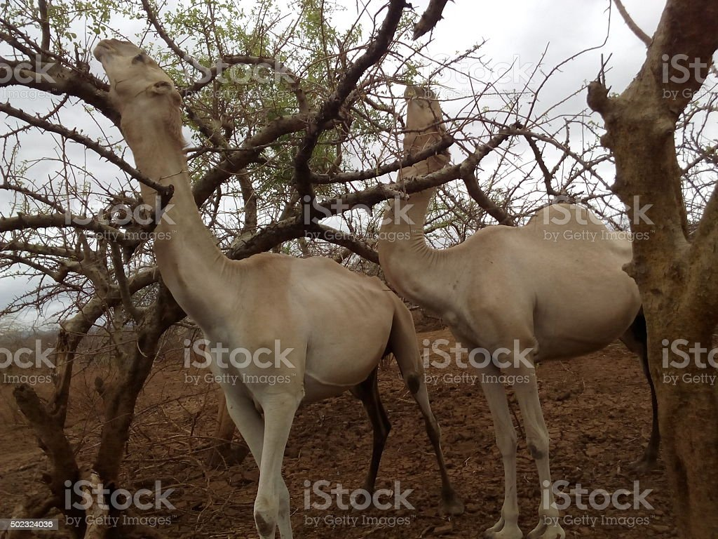 Camels Grazing stock photo