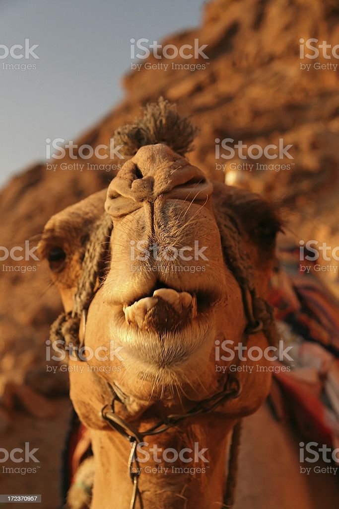 Camel's head royalty-free stock photo
