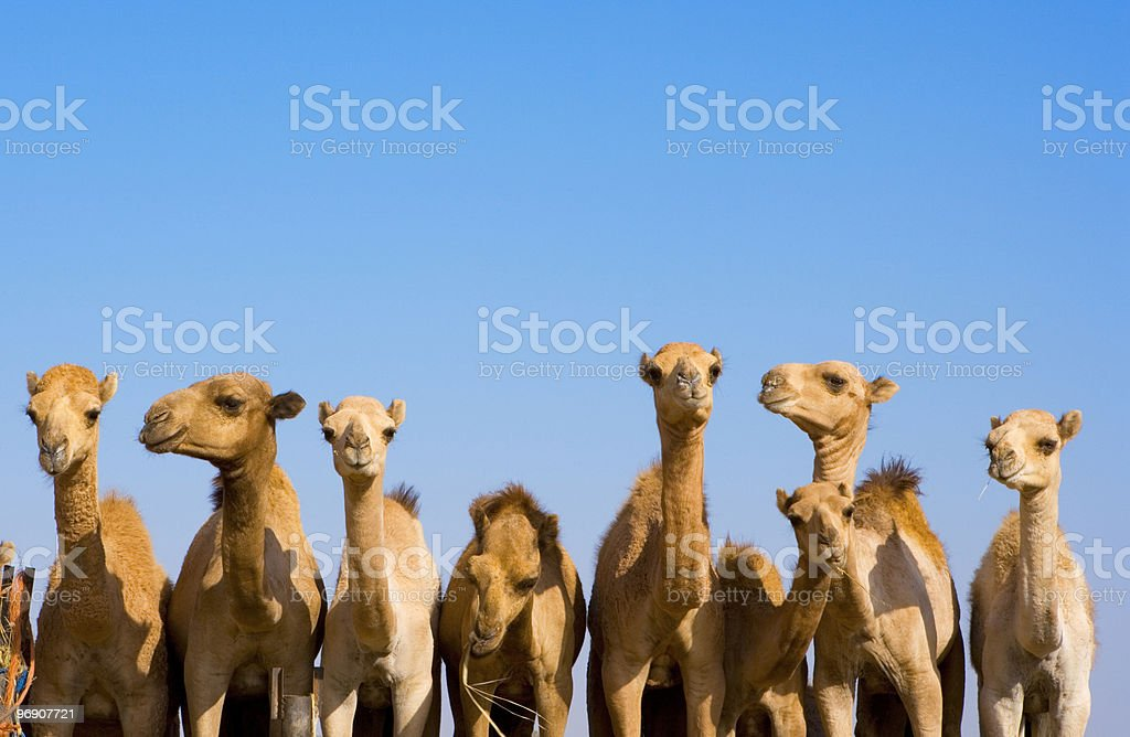 Camels in a row stock photo