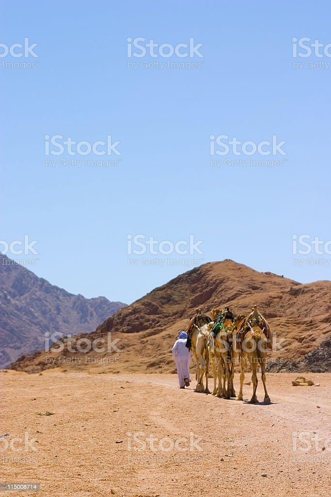 camels in desert royalty-free stock photo
