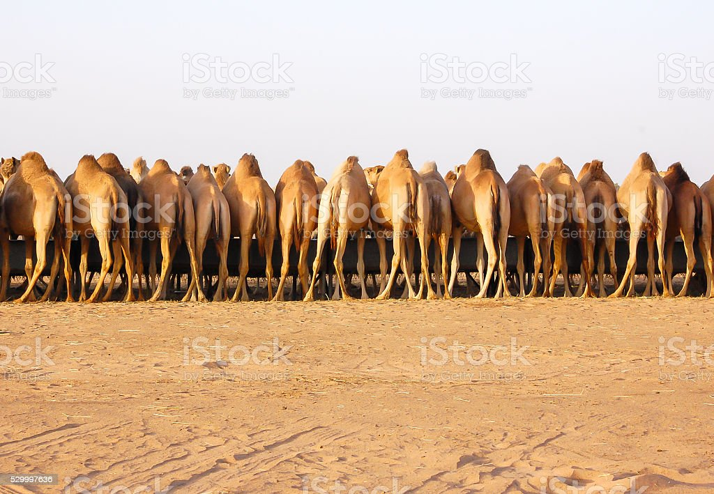 Camels in Desert stock photo