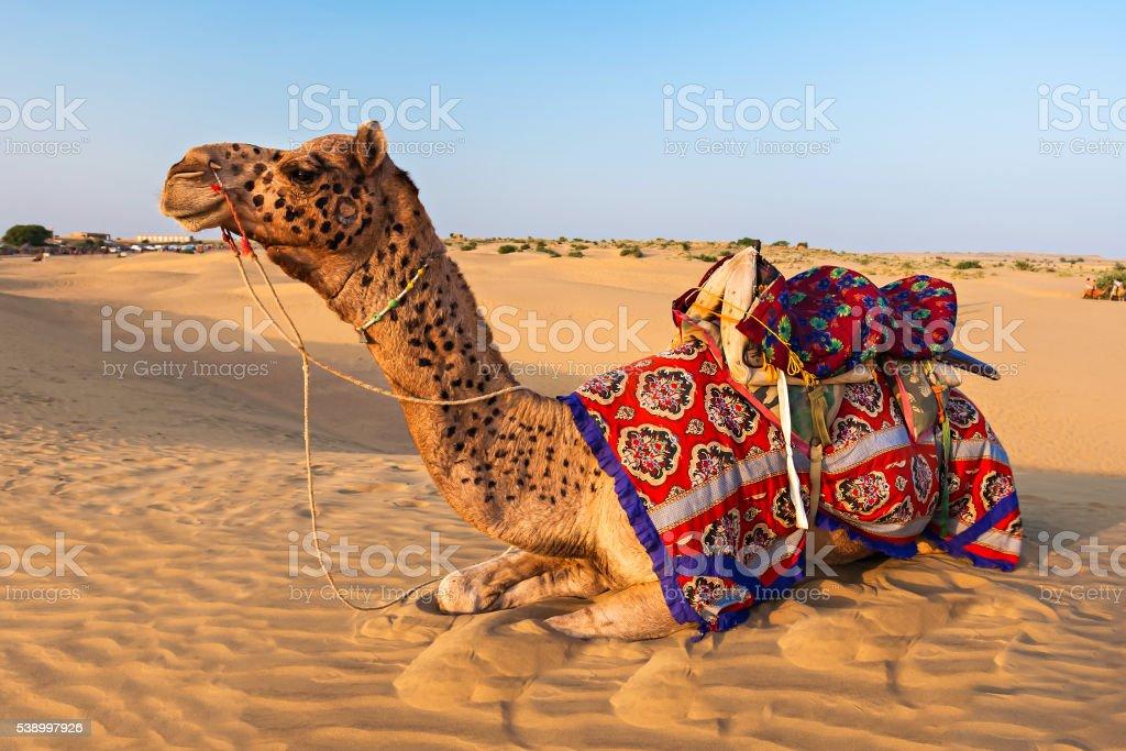 Camels in desert stock photo