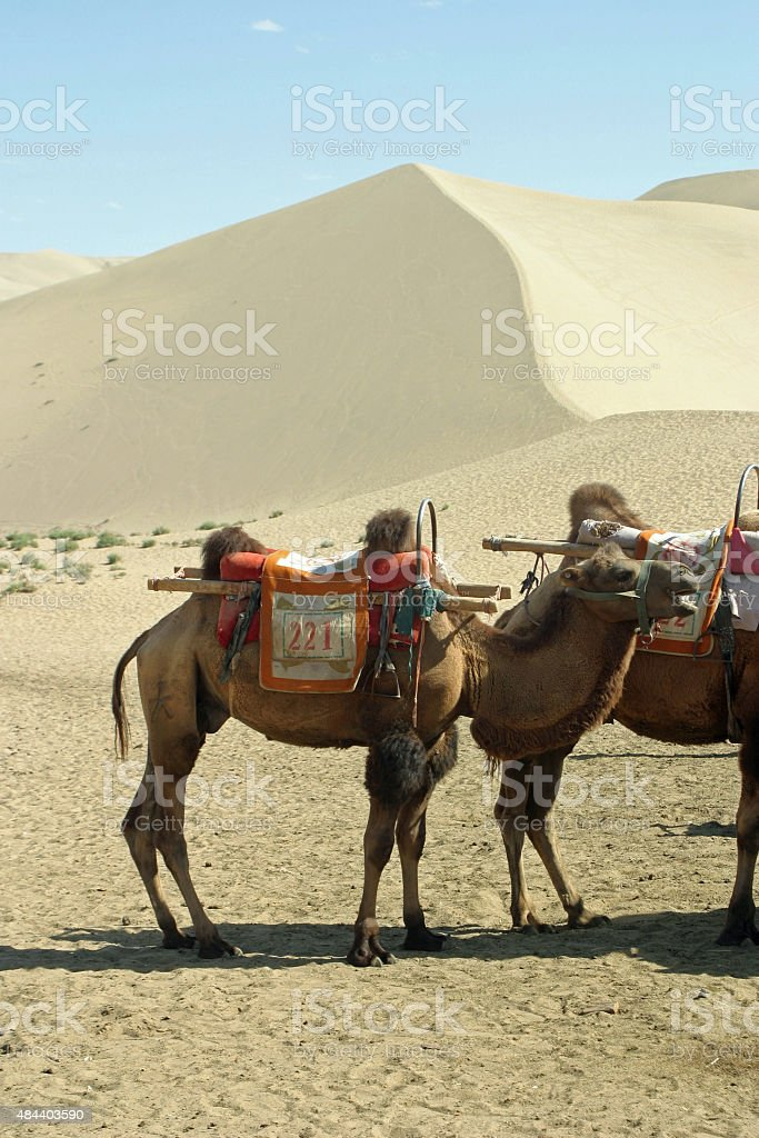 Camels in Echoing-Sand Mountain, Dunhuang, China stock photo