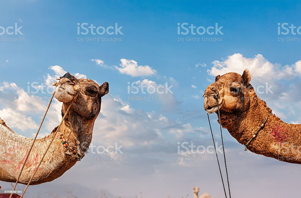 Camels in India stock photo