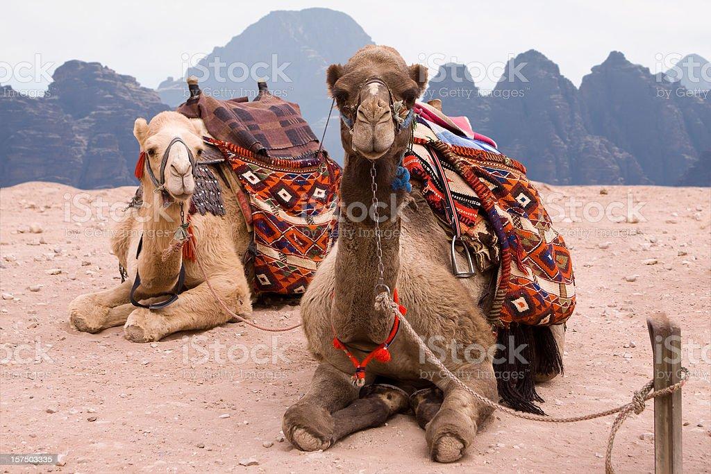 Camels in Jordanian Desert stock photo
