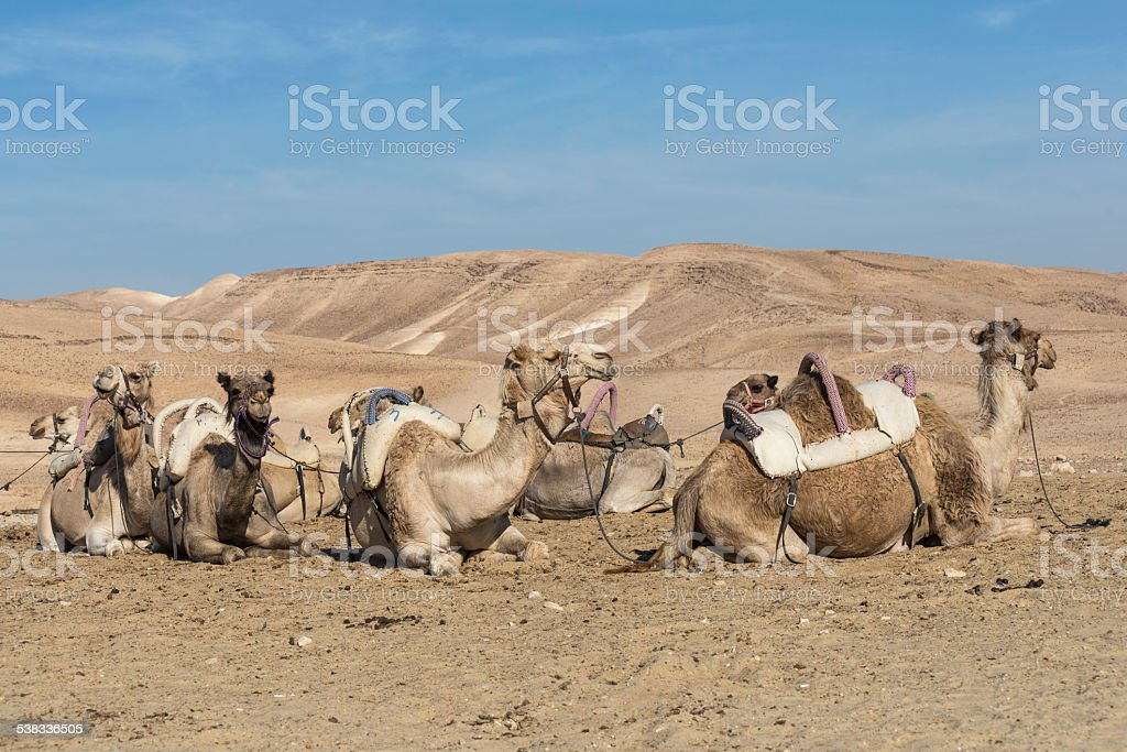 Camels in Judean desert, Israel royalty-free stock photo