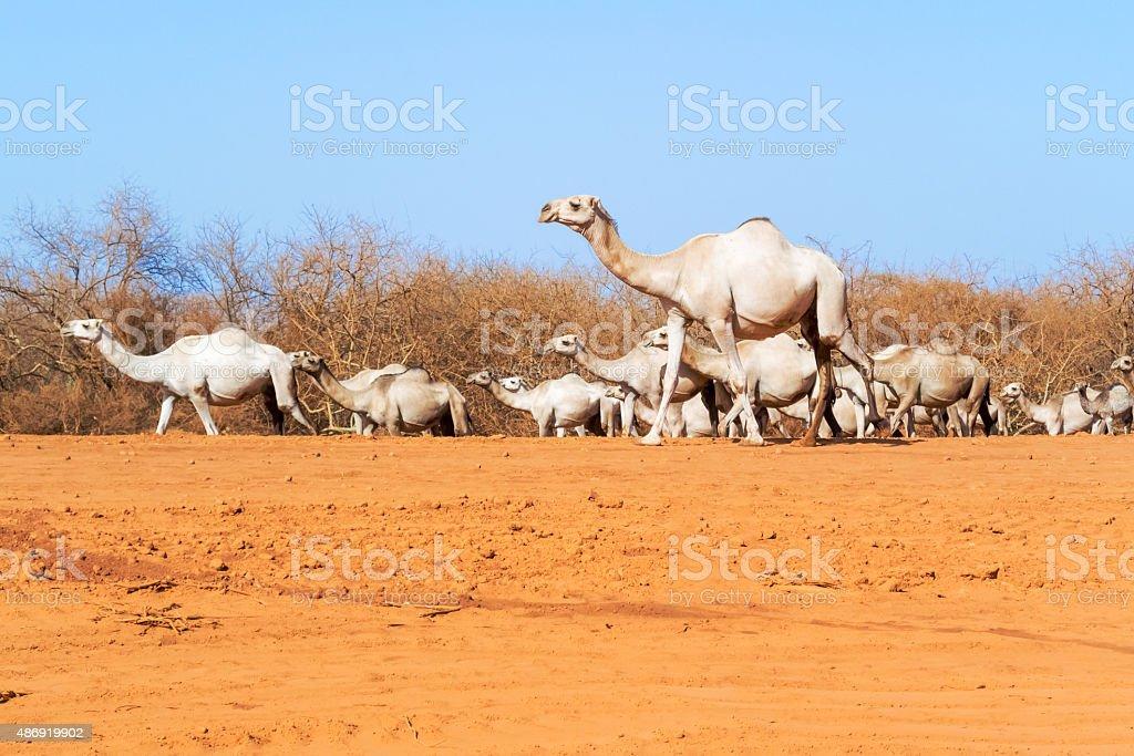Camels in Kenya stock photo