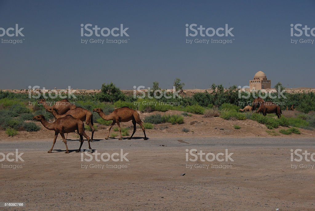 Camels in Merv, Turkmenistan stock photo