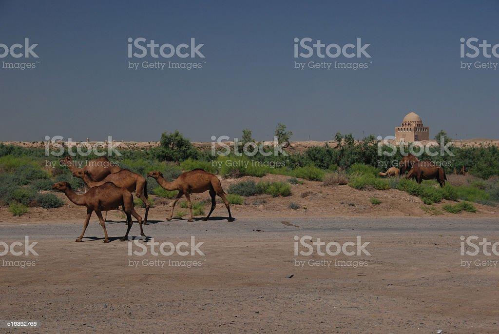 Camels in Merv, Turkmenistan stock photo