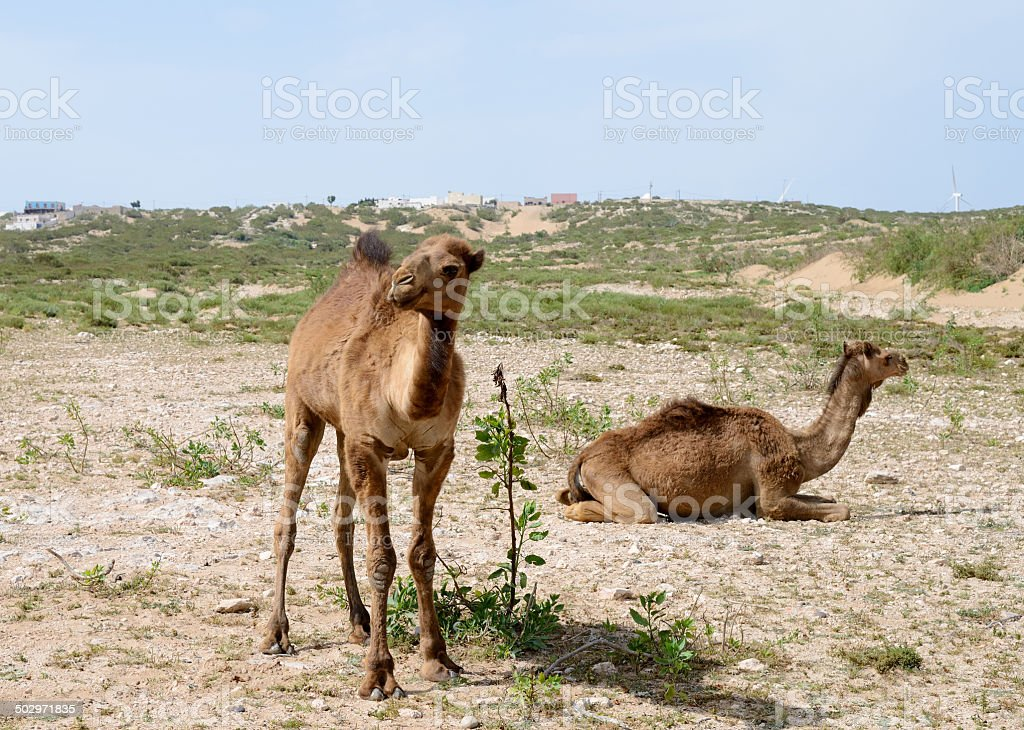 Camels in Morocco royalty-free stock photo