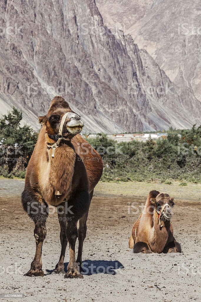 Camels in Nubra valley, Ladakh stock photo