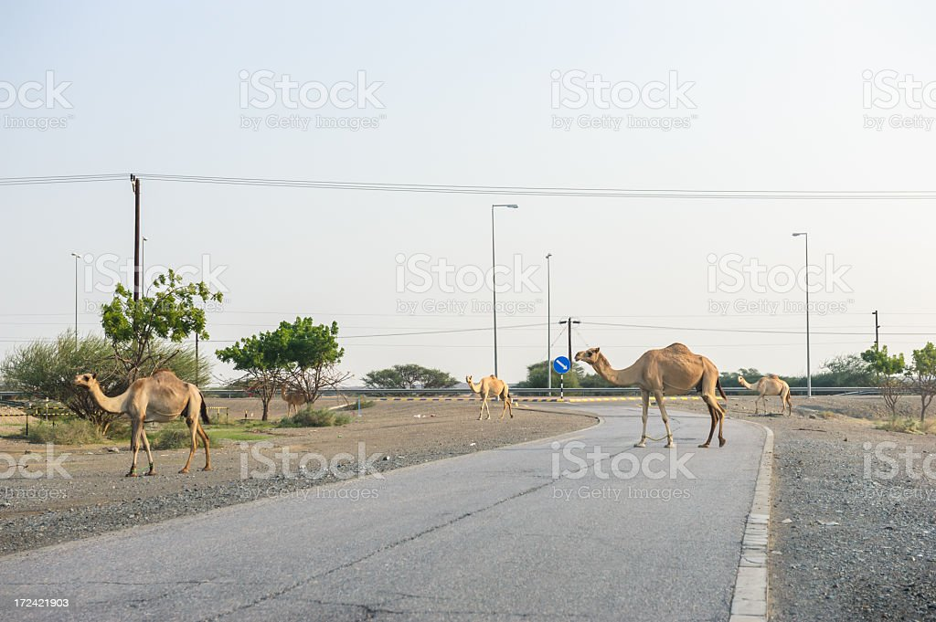 Camels in Oman stock photo