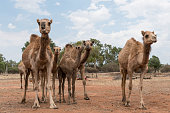 Camels in outback Queensland, Australia, up close