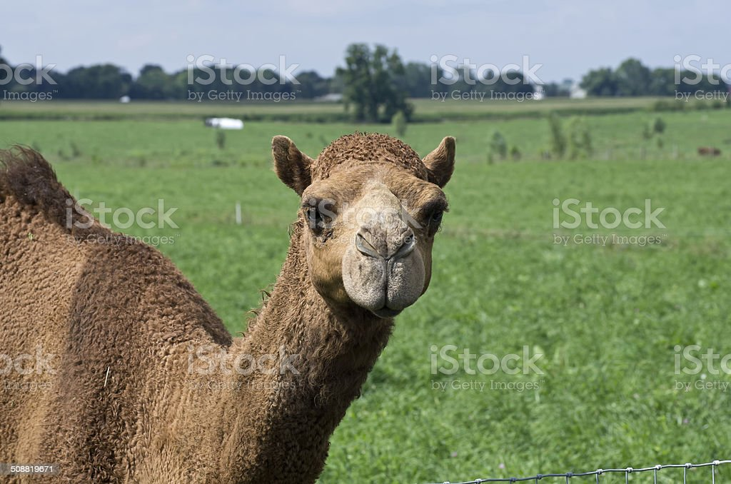 Camels in Pasture stock photo