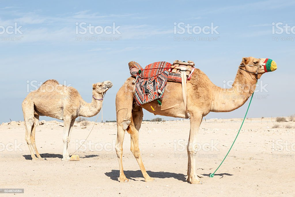 Camels in Qatar stock photo