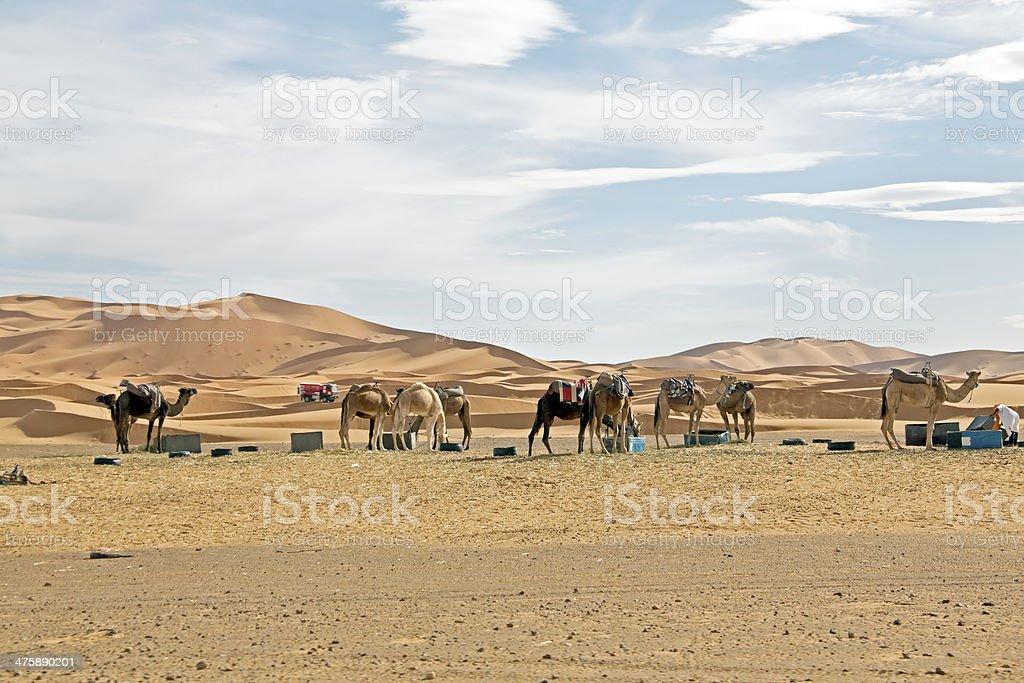 Camels in Sahara Desert at sunset stock photo