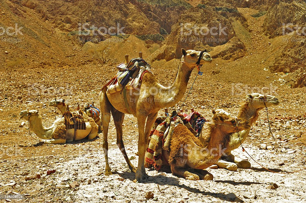 Camels in Sinai stock photo