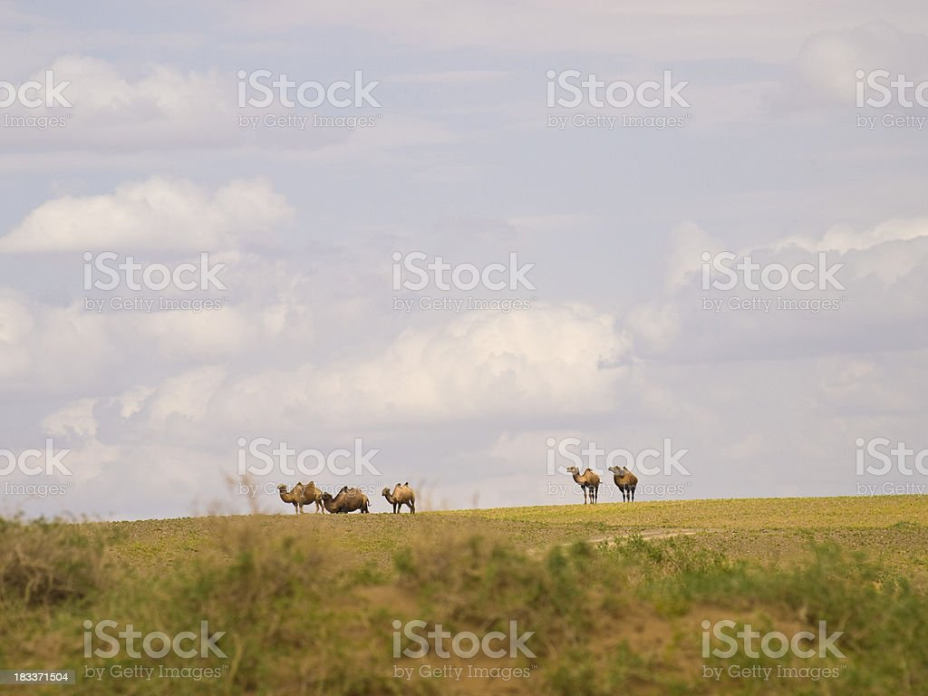 Camels in steppe royalty-free stock photo