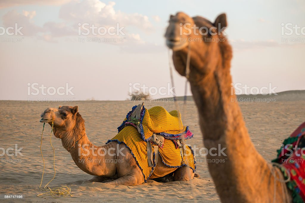 Camels in Thar desert, Rajasthan, India stock photo