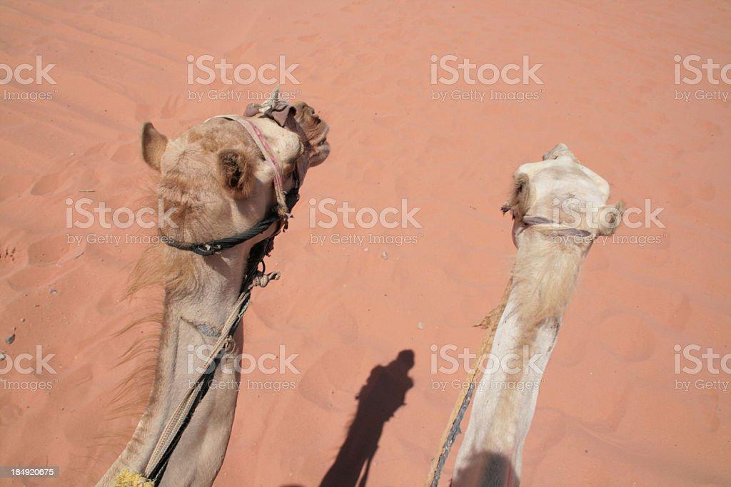 Camels in the desert, Jordan royalty-free stock photo
