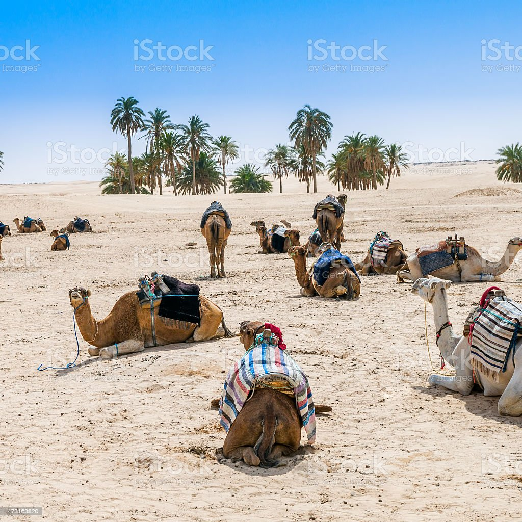 Camels in the desert oasis stock photo