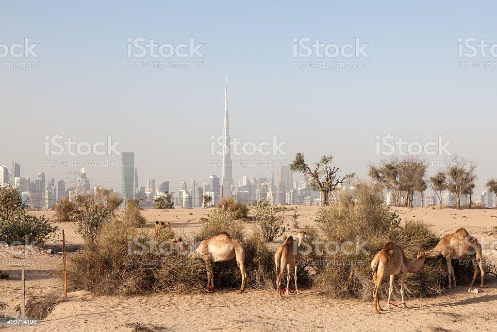 Camels in the desert of Dubai stock photo