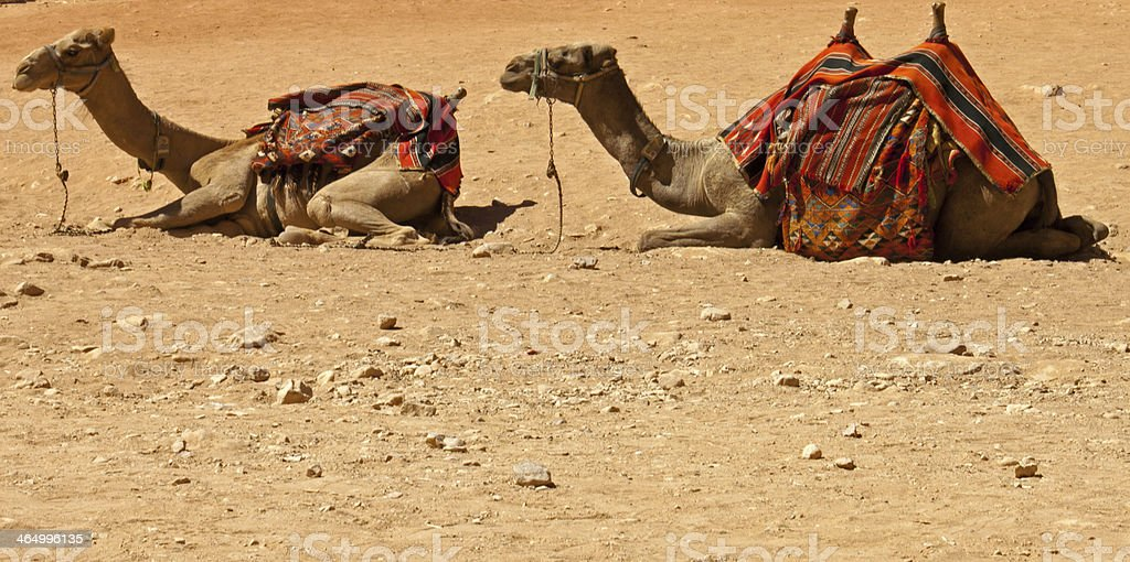 camels in the desert royalty-free stock photo