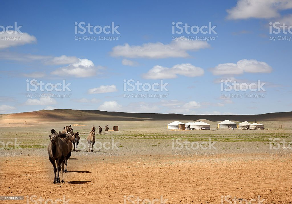 camels in the Gobi Desert stock photo