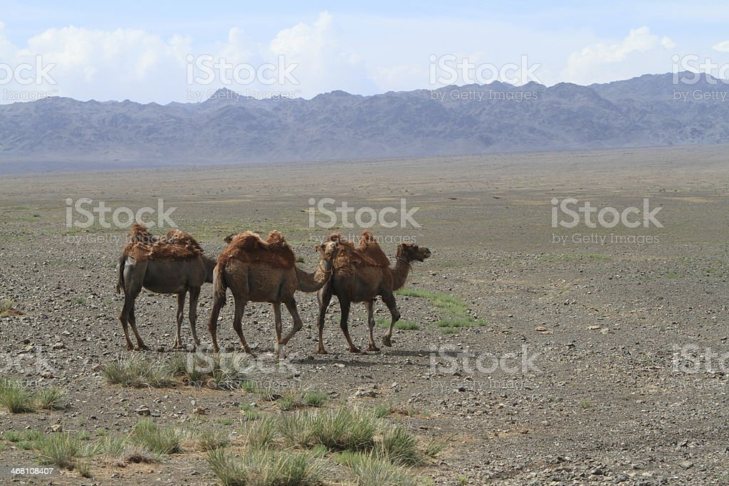 Kamele in der mongolischen Steppe stock photo
