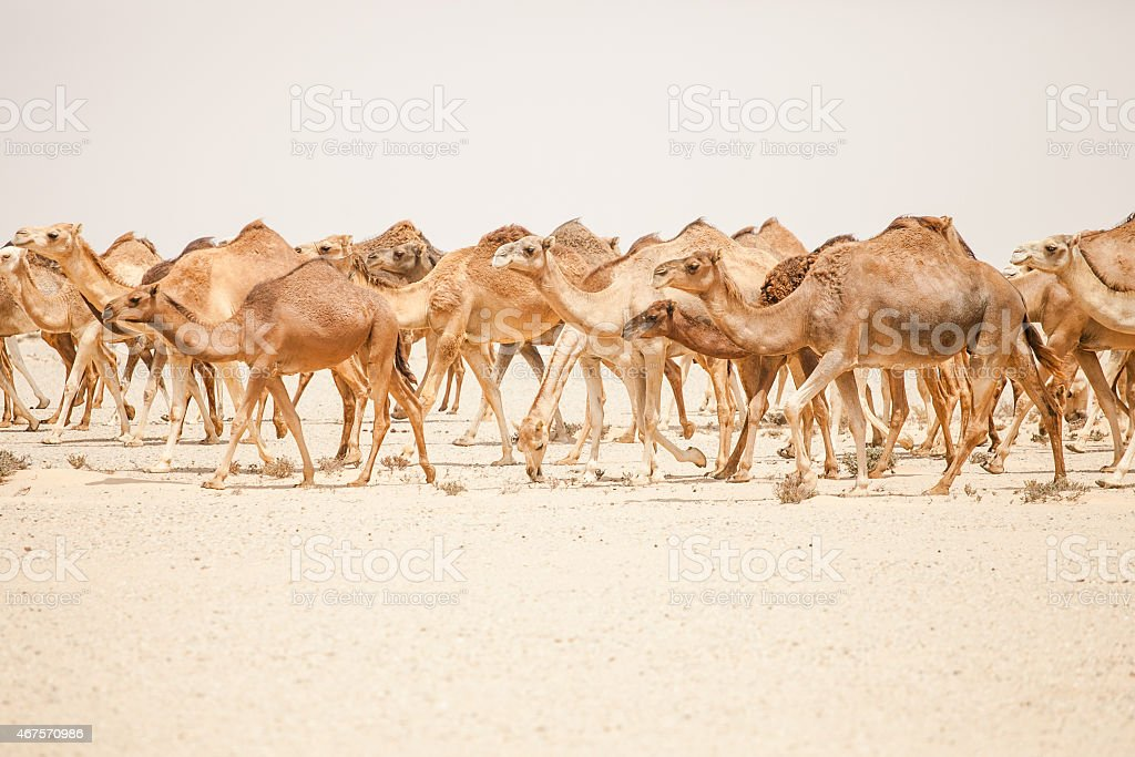 Camels in the moroccan desert stock photo