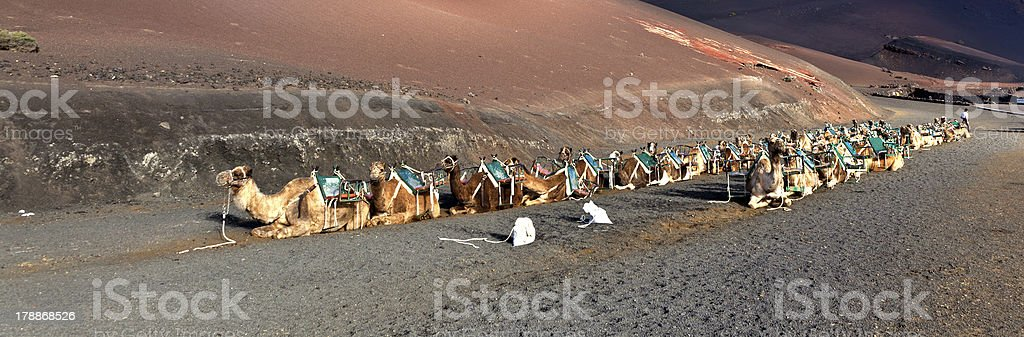 camels in the national park royalty-free stock photo