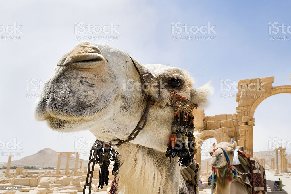 Camelos nas ruínas romanas de Palmyra, a Síria foto royalty-free