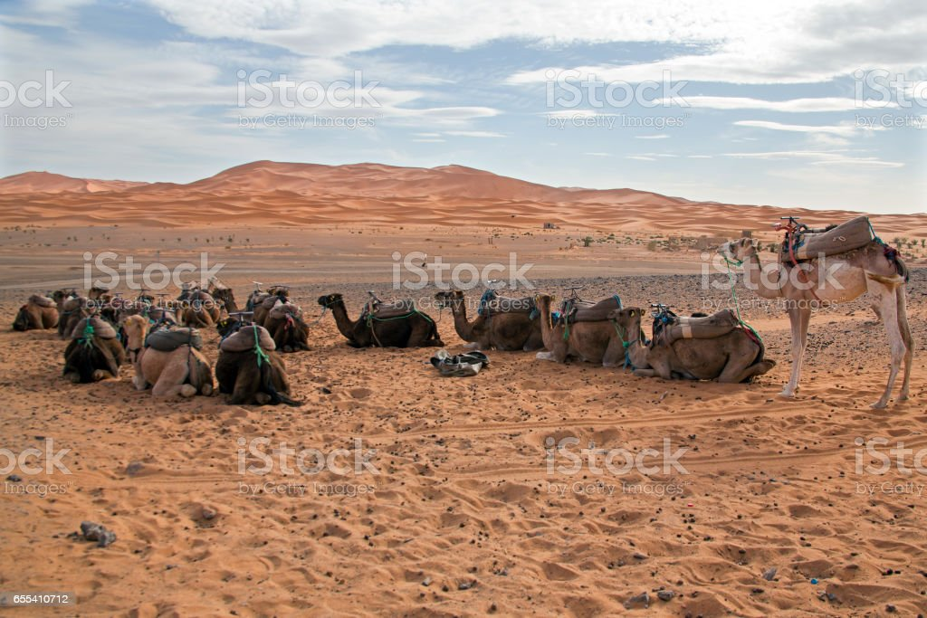 Camels in the Sahara desert at sunset stock photo