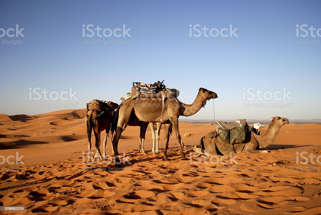 Camels in the Sahara desert stock photo