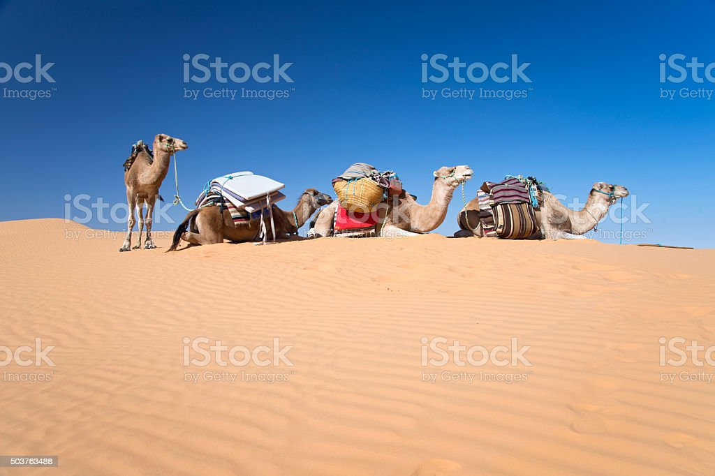 Camels in the Sand dunes desert of Sahara, South Tunisia stock photo