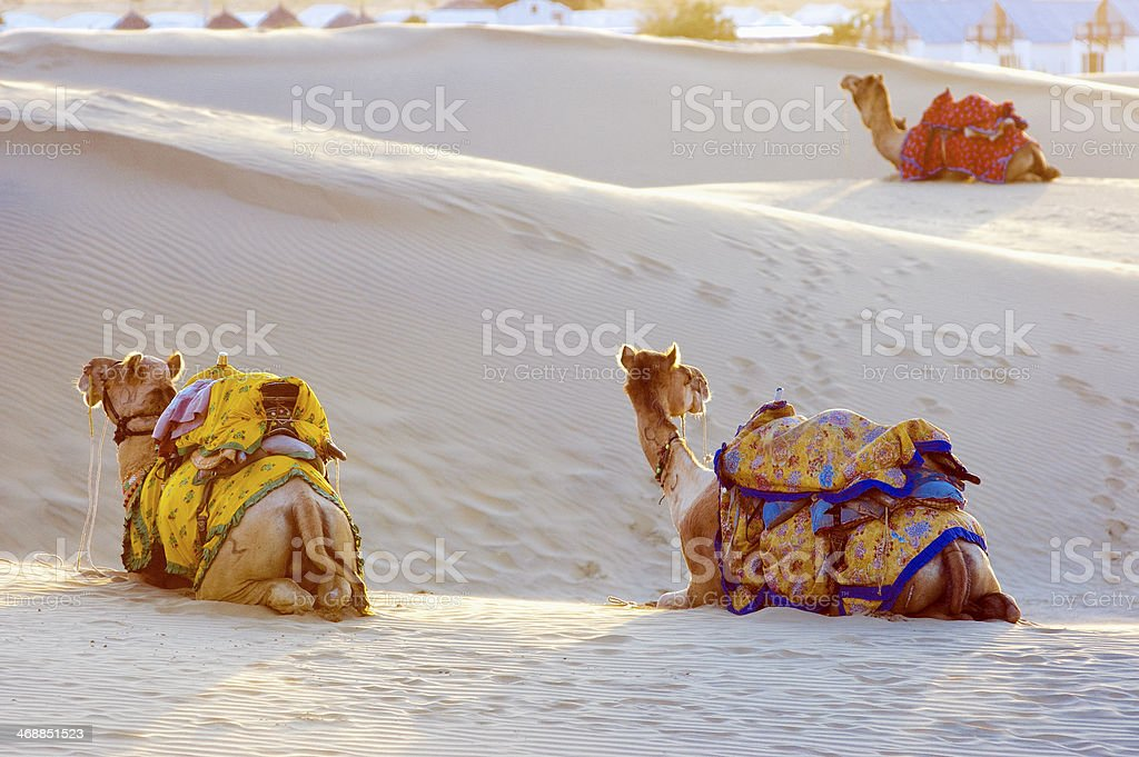 Camels in the Thar Desert, Jaisalmer, India stock photo