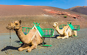 Camels in Timanfaya National Park waiting for tourists, Lanzarot