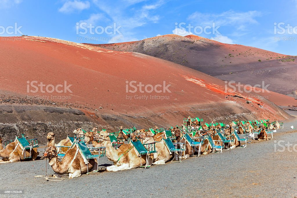 Camels in Timanfaya National Park waiting for tourists stock photo