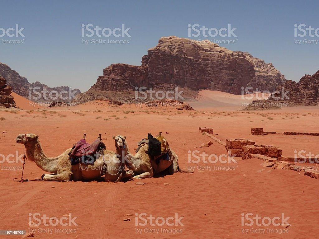 Camels in Wadi Rum desert, Jordan stock photo