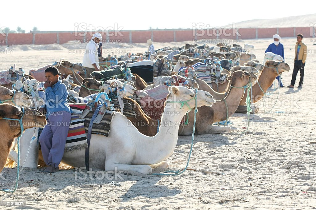 Camels lieing down royalty-free stock photo