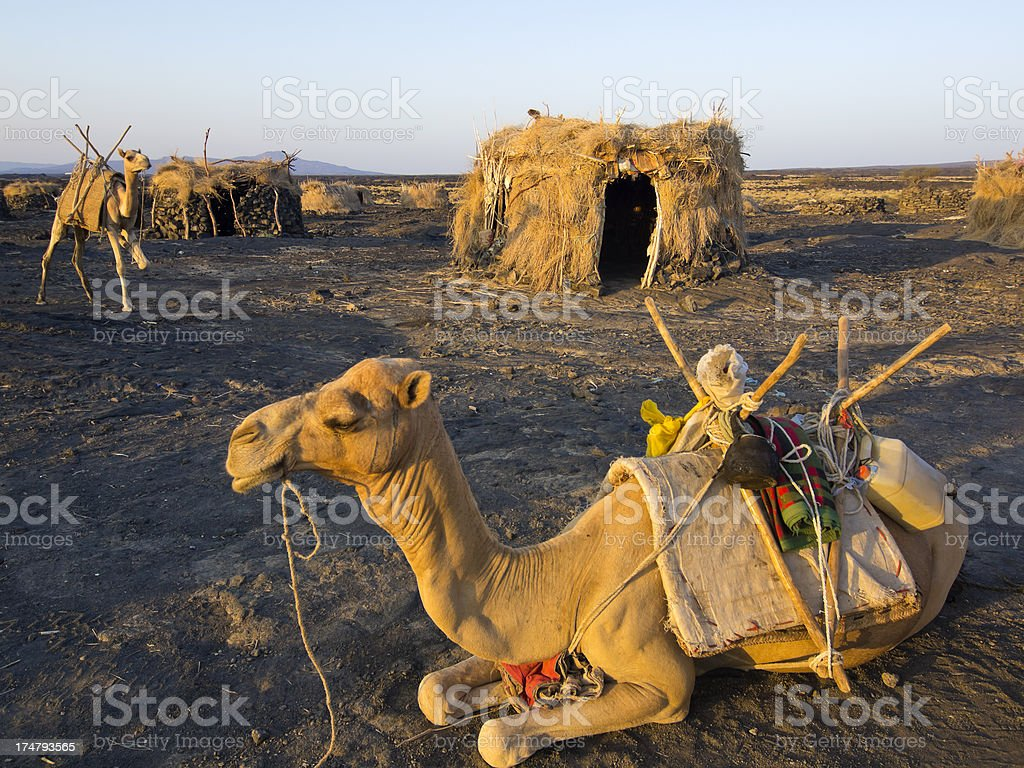 camels lying down in a local village in East Africa stock photo
