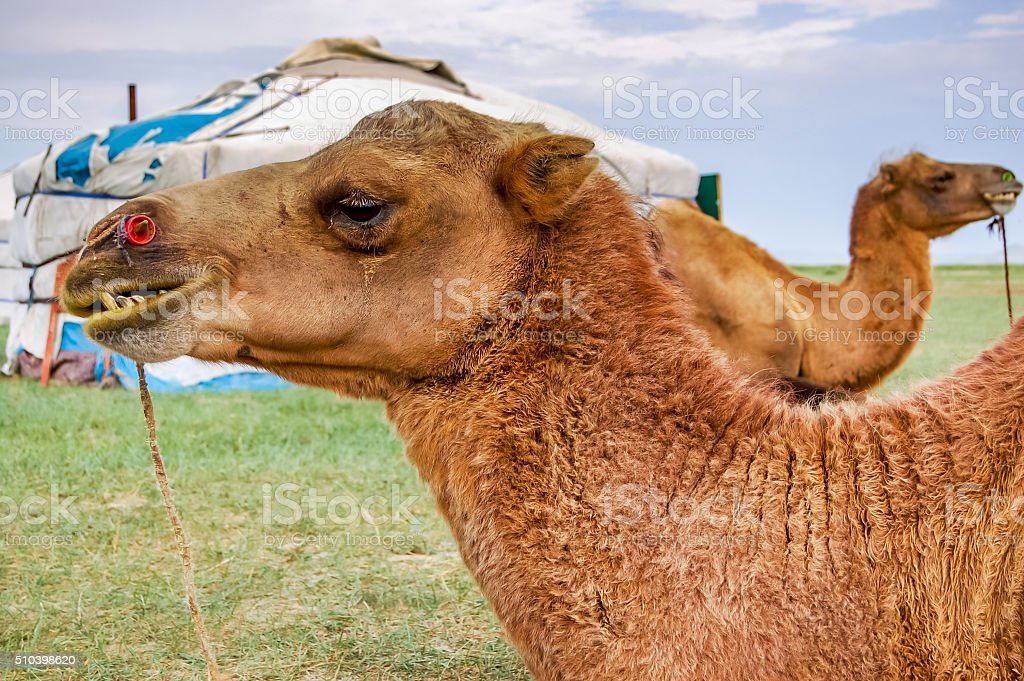 Camels lying in front of yurt stock photo