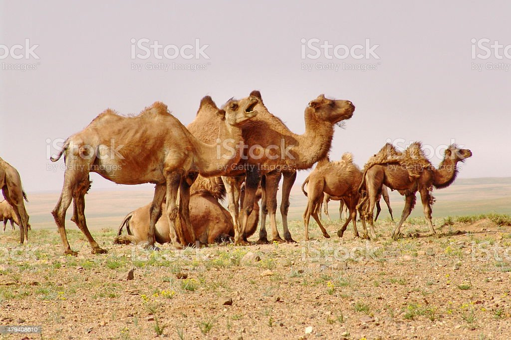 Camels Mongolian desert landscape stock photo